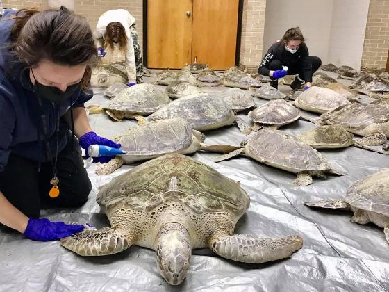 Staff at the Amos Rehabilitation Keep at the UT Marine Science Institute received 900 live sea turtles threatened by the cold