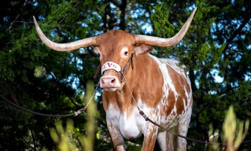 Bevo standing majestically in front of trees.